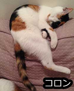 猫背ファミリーのコロンです。